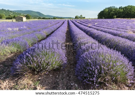 Lavender field at sunset in Provence, South of France