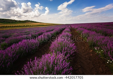 Lavender field at the end of June, near Burgas city, Bulgaria