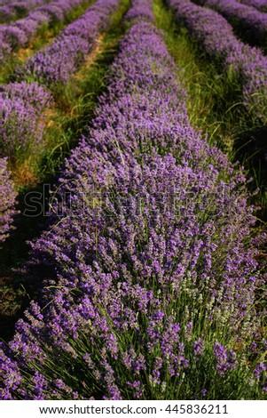 Lavender field at the end of June, near Kazanlak, Bulgaria - stock photo