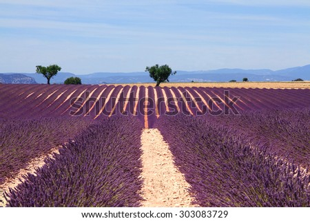 Lavender field at the plateau of Valensole in Provence, France