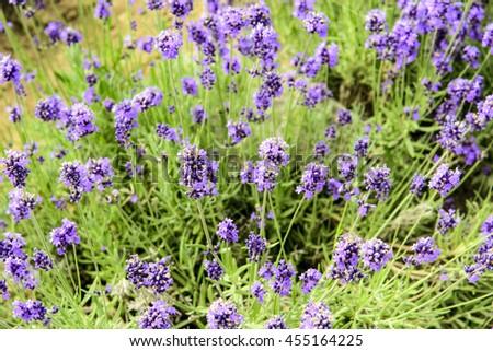 Lavender field at Tomita farm, Furano, Hokkido, Japan - stock photo