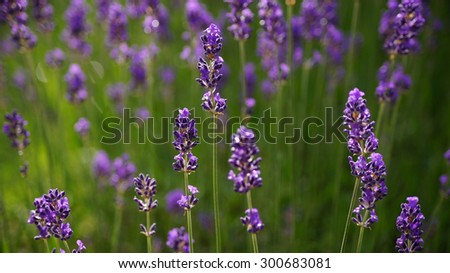 Lavender field background.