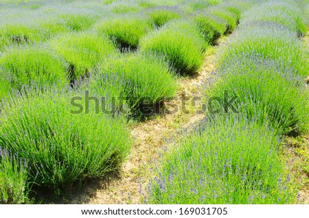 Lavender Field Close-up in the Middle of Summer - stock photo