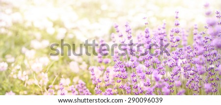 Lavender field closeup. Aromatic lavender flowers over sunset sky. - stock photo