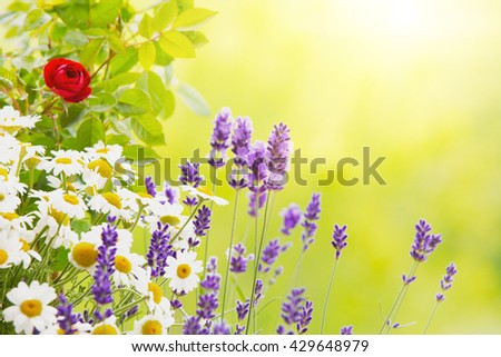 Lavender field closeup. Blooming lavender. blooming rose. Aromatic lavender flowers over sunset sky. - stock photo