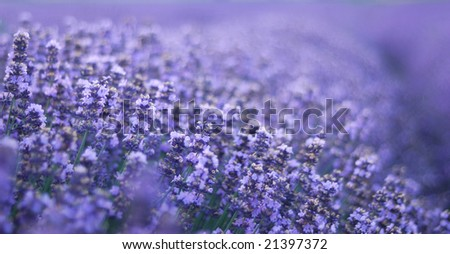 lavender field. closeup detail of a  herbal plant - stock photo