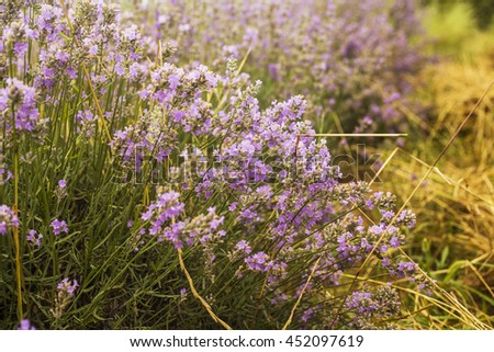 Lavender field in Bulgaria - stock photo