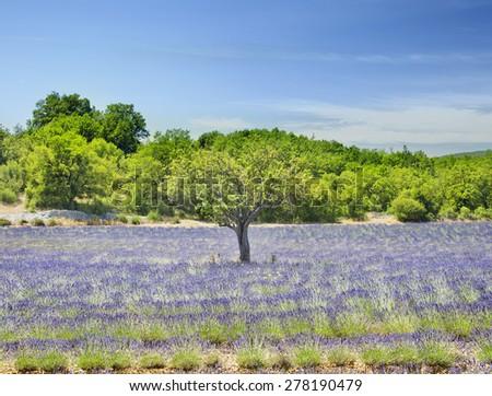 Lavender field in Provence. - stock photo