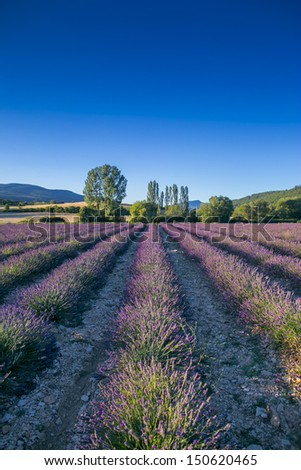 Lavender field in Provence, France - stock photo