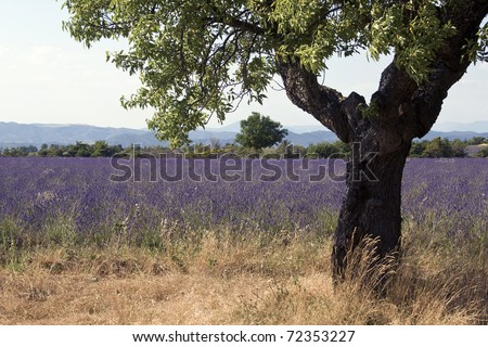 Lavender Field in Provence. France - stock photo