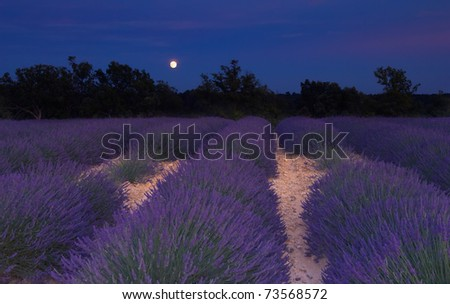 Lavender field in Provence, France, photographed under the moonlight in a warm summer evening