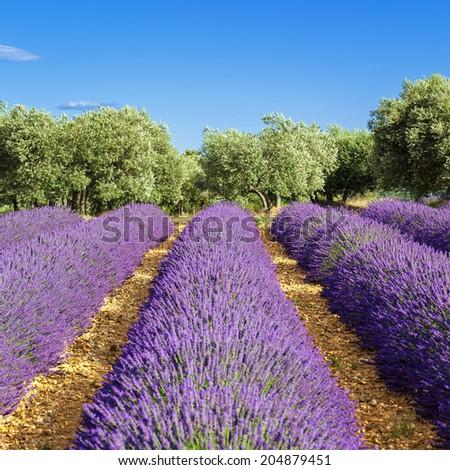 Lavender field in Provence, near Gordes, France - stock photo