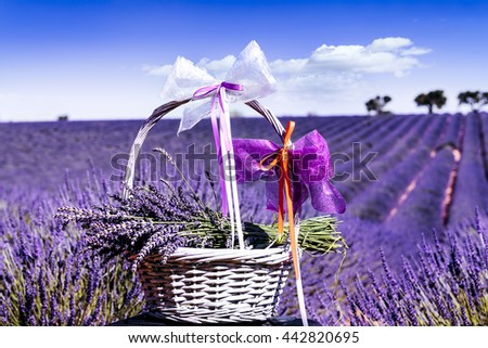lavender field in south of France with decorative basket - stock photo