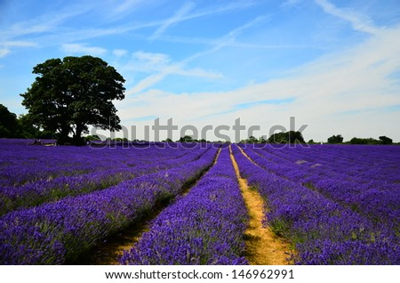 Lavender Field in summer time