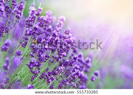 Lavender field in sunlight.