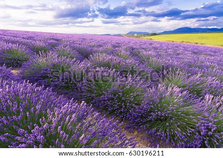 Lavender field in sunlight,Provence, Plateau Valensole. Beautiful image of lavender field.Lavender flower field, image for natural background.Very nice view of the lavender fields.