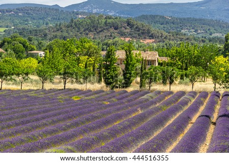 Lavender field in the Luberon Provence - stock photo