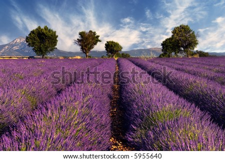 Lavender field in the region of Provence, southern France - stock photo