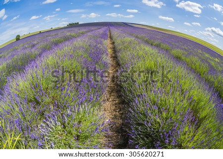Lavender field in the summer - fisheye perspective - stock photo