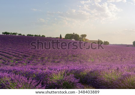 Lavender field in the sunrise light. Purple flowers of lavender and farm. Plateau de Valensole, Provence, France - stock photo