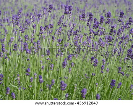 Lavender field.Lavender flowers. - stock photo