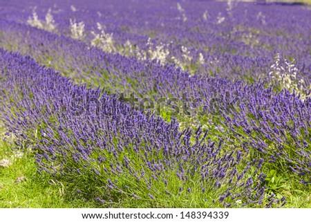 lavender field near Salles-sous-Bois, Rhone-Alpes, France - stock photo