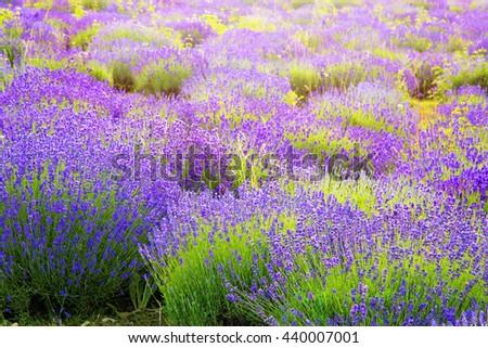 Lavender field near Tihany in Hungary - stock photo