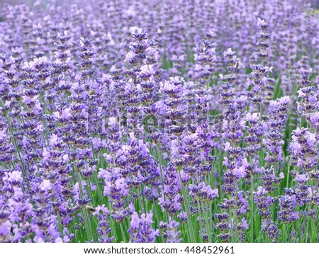 Lavender. Field of flavorsome blossoms in summer. - stock photo