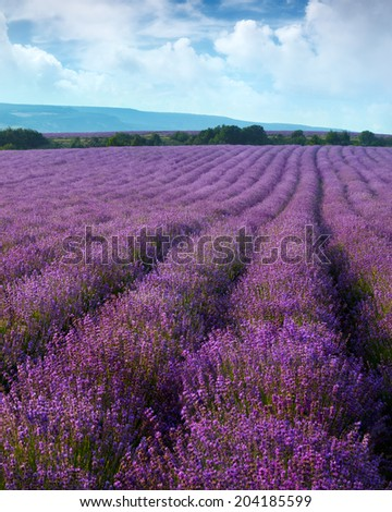 Lavender field on a background of clouds and mountains