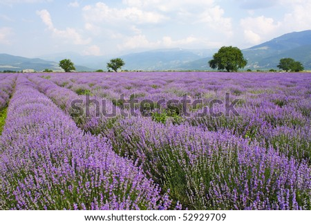 lavender field on blue sky and clouds