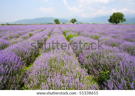 lavender field on blue sky and clouds - stock photo