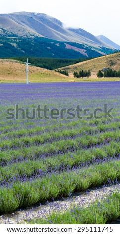 lavender field on the way to Mt Cook National Park New Zealand - stock photo