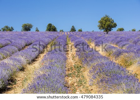 lavender field on the yellow ground in France