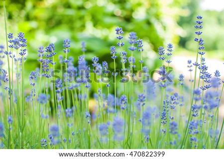 Lavender field over blured bokeh background. Lavender flower field, image for natural background. Lavandula angustifolia.