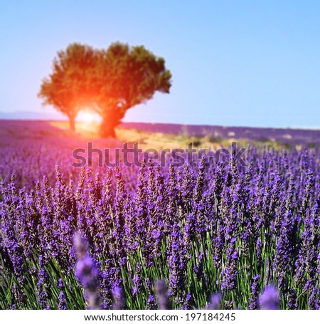 Lavender field, Provence - stock photo