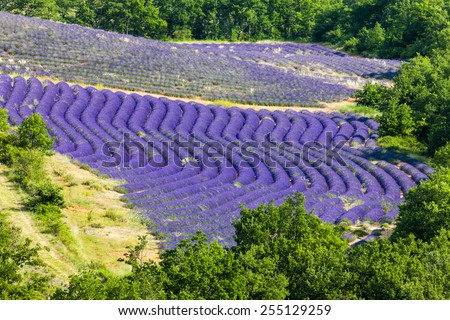 lavender field, Provence, France - stock photo