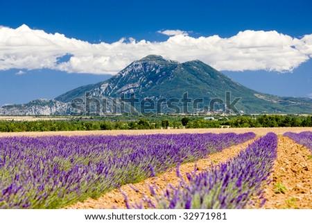 lavender field, Provence, France - stock photo
