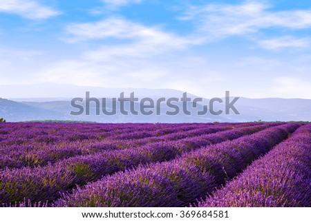 Lavender field summer landscape near Sault.Provence.France - stock photo