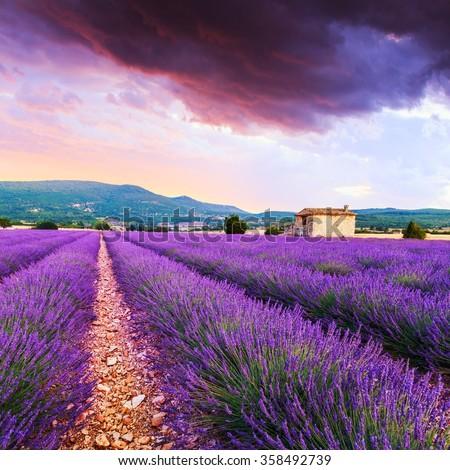 Lavender field summer sunset landscape near Sault..Provence,France - stock photo
