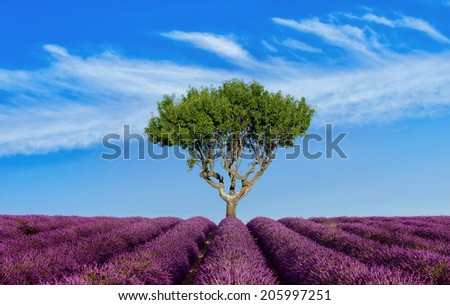 Lavender field Summer sunset landscape with single tree - stock photo