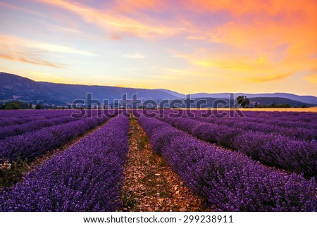 Lavender field summer sunset landscape with single tree near Sault..Provence,France - stock photo