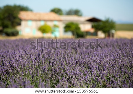 Lavender field with a house in the background - stock photo