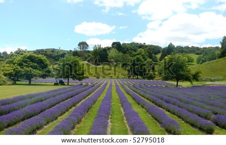 Lavender field with blue sky in background - stock photo