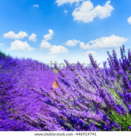 Lavender field with bright summer blue sky close up, France - stock photo