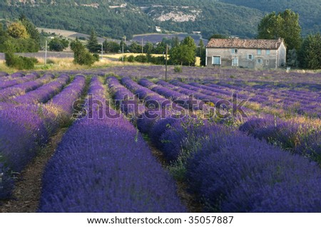 Lavender field with farmhouse - stock photo