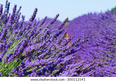 Lavender field with summer blue sky close up, France - stock photo