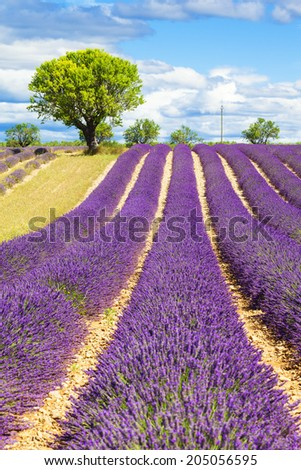Lavender field with tree in Provence, France - stock photo
