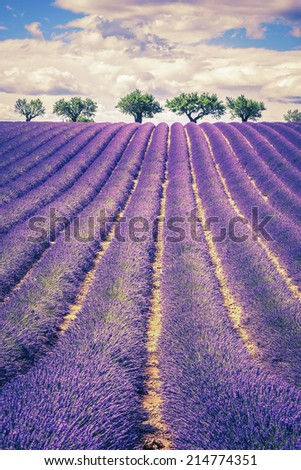 Lavender field with trees in Provence at sunset, France