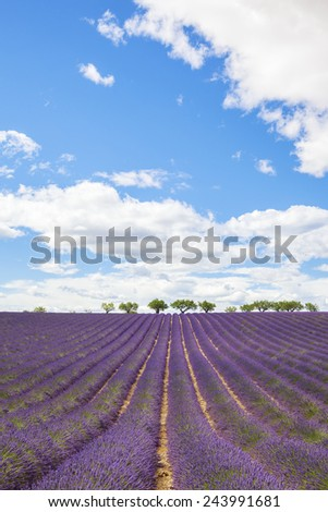Lavender field with trees in Provence, France - stock photo