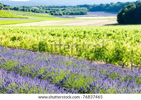 lavender field with vineyards, Drome Department, Rhone-Alpes, France - stock photo